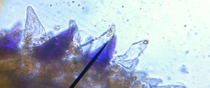 Mikroskopie – Querschnitt eines Blütenblatts